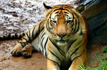 Tiger (Panthera tigris) intensely looking towards the camera in a hunting position.