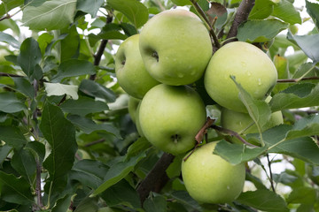Ripe green apples on a branch ready to be harvested