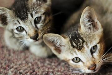 2 Blonde Kitten In Action