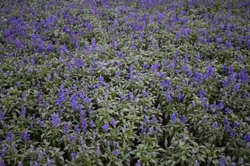 field of purple fowers
