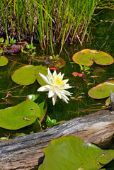 Lovely white water lily on garden pond