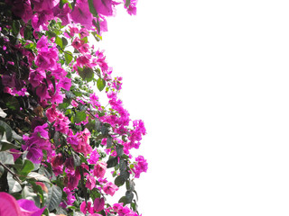Pink Bougainvillea flower isolated