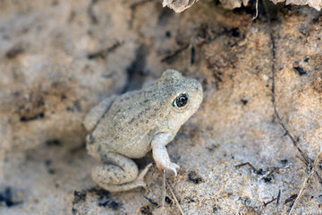 Great Basin Spadefoot Toad (Spea intermontana). Protective coating example. Capitol Reef National Park, Utah, USA