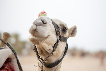 Muzzle camel in Sharm el Sheikh, Egypt. Animal in desert.