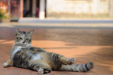 Beautiful leopard color cat which is three colored tabby cat wearing collar and small bell lying on the floor in the house. The cat doing funny & beauty acting for photographer to take a photo.