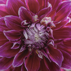 Close Up, Isolated View of Sunlit Dahlia Flower, Fuchsia and White Petals