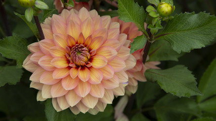 Close Up, Isolated View of Sun Dappled Dahlia Flower, Orange and Yellow Petals with Similar Dahlia in Background