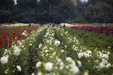 Field of red, white, and purple dahlia flowers with trees and partial blue sky showing in background