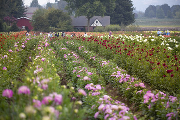 Field of pink, red, and yellow dahlia flowers with trees and blue sky in background