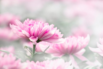 Blurred images sweet colorful of pink chrysanthemum flower in garden.flower background.