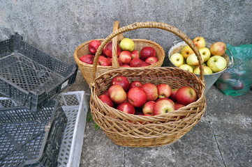 Red sweet apples in baskets  and ampty plastic boxes near rural home