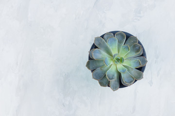 Succulent Echeveria. Beautiful green succulent isolated on grey stone concrete background. Flat lay, top view.