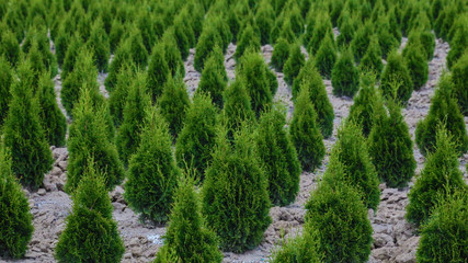 Angular View of Rows of Young Cypress Bushes, Farm, Clean Tilled Soil, Daytime