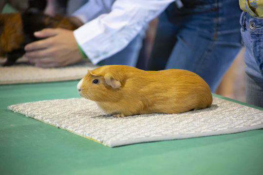 Single guinea pig lined up for judging at state fair competition