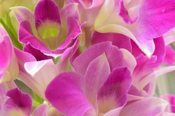 Macro texture of purple Orchid flowers