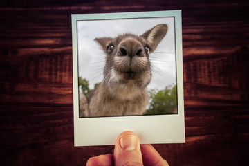 Hand holding photograph of funny kangaroo closeup on wooden background