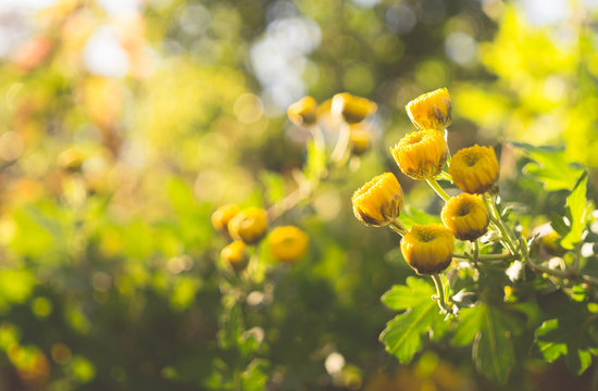 Yellow autumn chrysanthemum in a sunny garden