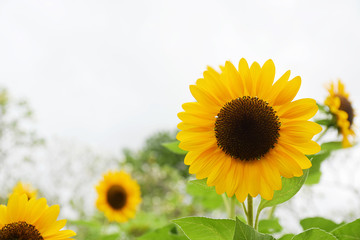 Sunflower blooming in the field with cloud and blue sky. Sunflower oil improves skin health and promote cell regeneration