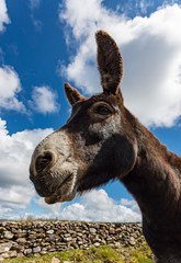 Close-up portrait of a donkey beside an old stone wall in rural connemara