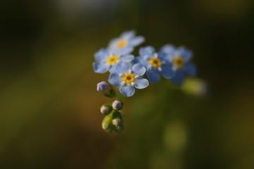 Beautiful flowers woodland forget-me-not. Myosotis sylvatica. funeral bouquet.