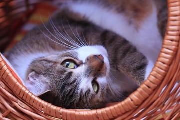 cute colorful cat lying in a basket. Felis silvestris catus