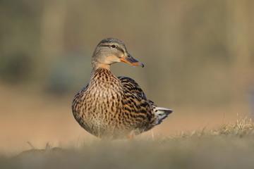 Female mallard on the ground. Wild duck. Wildlife scene from nature. Anas platyrhynchos.