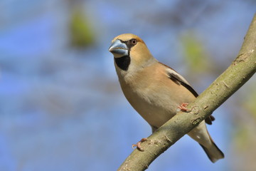 hawfinch sits on the branch with blue background. (Coccothraustes coccothraustes) Wildlife scene from nature.