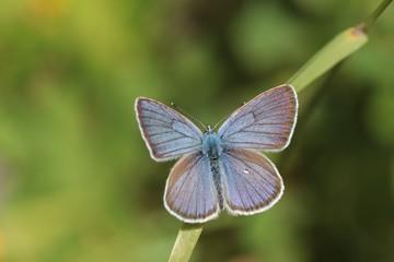 Cyaniris semiargus, Mazarine Blue butterfly. Small blue butterfly in natural habitat