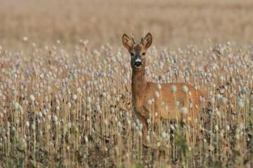 Beautiful roe deer standing in a poppy field. Wildlife scene from nature. Deer in the nature habitat. Capreolus capreolus.