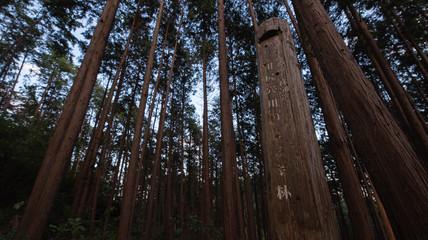 秋の暗いヒノキ林