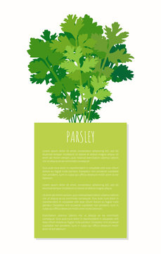 Parsley Spice Plant Isolated on White Background