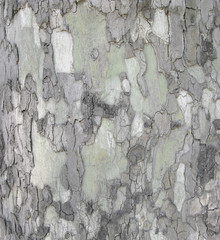 Sycamore tree (other name platan), details of bark. Natural background of tree bark. Natural camouflage pattern and layered structure of wood surface.