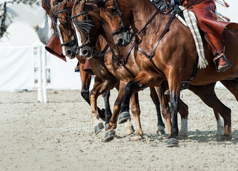 horses closeup in motion during the spanish doma vquera show