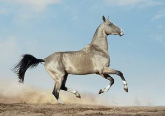 golden dun akhal-teke with blue eyes runs in desert