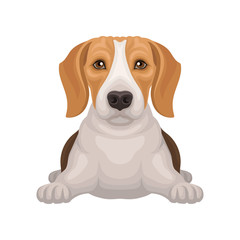 Cute beagle with shiny eyes lying isolated on white background. Small hunting dog with adorable muzzle. Flat vector design