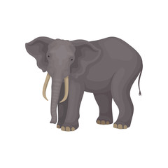 Flat vector portrait of adult elephant. Wild African or Asian animal with large ears, long trunk, tusks and tail