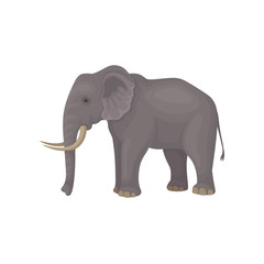 Gray elephant standing isolated on white background. Wild animal with large ears, long trunk, tail and tusks. Flat vector design