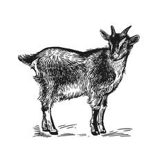 Goat. Farm animal. Isolated realistic handmade drawing.