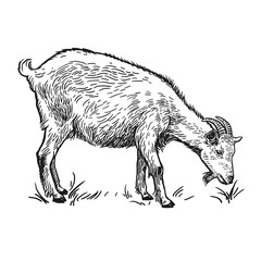 Goat. Farm animal. Isolated realistic handmade drawing.