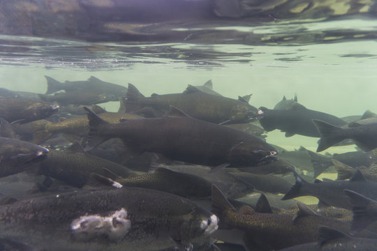 An underwater view of a group of wild salmon