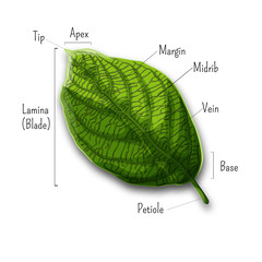 Basic leaf parts, external structure infographics isolated on white background.