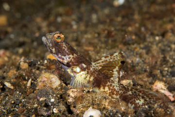 highfin shrimpgoby fish