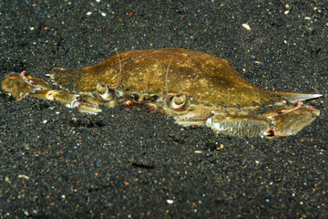 blue swimming crab burried in volcanic sand