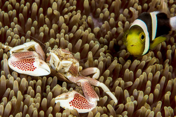 porcelain crab and clark's anemonefish in a anemone
