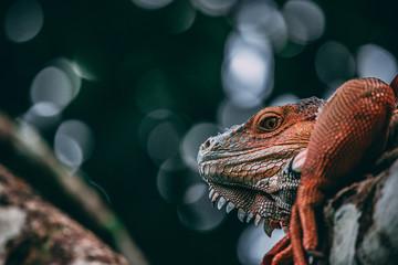 Iguana close up in the tree