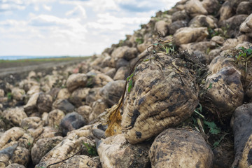 heap of sugar beet harvested in the field at the background of the cloudy sky