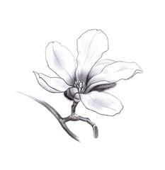 magnolia spring flower, pencil hand drawn graphic design element