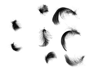 Wall Mural - Beautiful black feathers floating in air isolated on white background