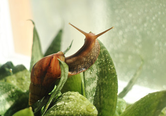 Snail crawling on green leaves and water drops. Close-up
