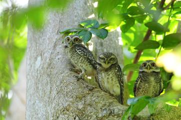 Bird, Spotted owlet, Athene brama